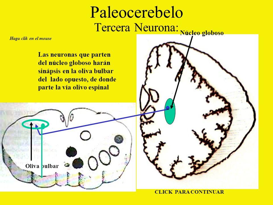 Paleocerebelo Tercera Neurona: Haga clik en el mouse CLICK PARA CONTINUAR Las neuronas que parten del núcleo globoso harán sinápsis en la oliva bulbar del lado opuesto, de donde parte la vía olivo espinal Núcleo globoso Oliva bulbar -