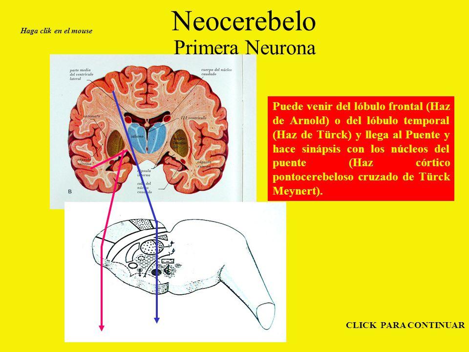 Neocerebelo Primera Neurona Haga clik en el mouse CLICK PARA CONTINUAR Puede venir del lóbulo frontal (Haz de Arnold) o del lóbulo temporal (Haz de Türck) y llega al Puente y hace sinápsis con los núcleos del puente (Haz córtico pontocerebeloso cruzado de Türck Meynert).