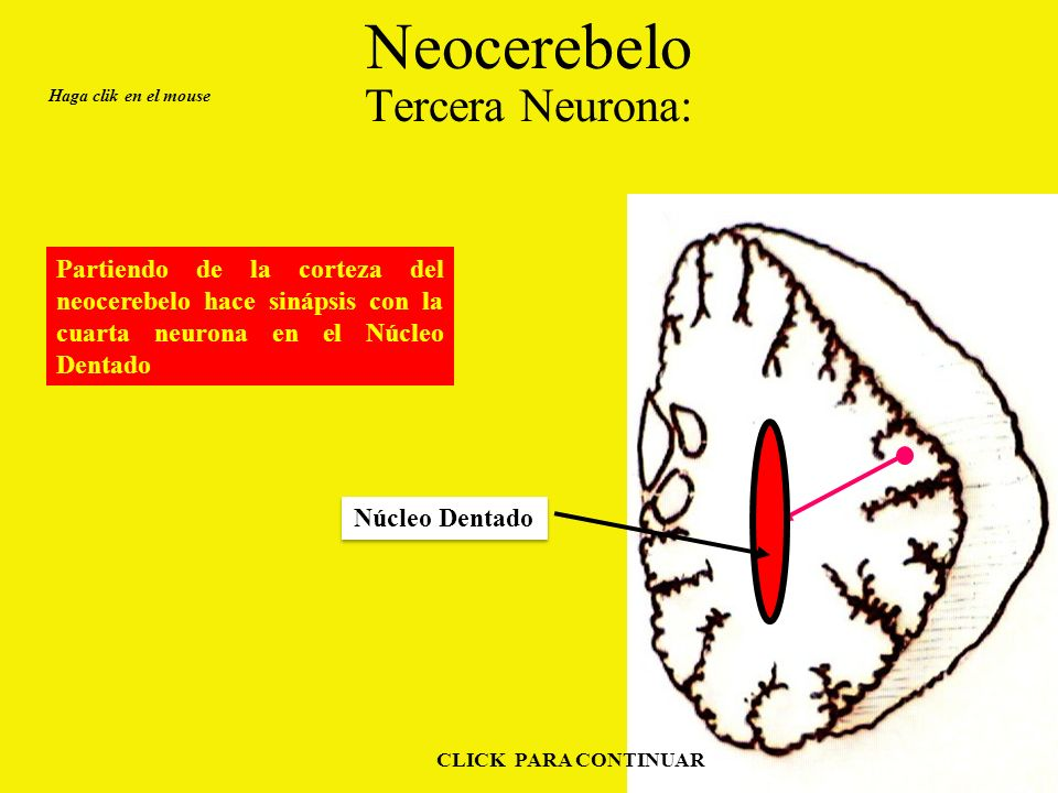 Neocerebelo Tercera Neurona: Haga clik en el mouse CLICK PARA CONTINUAR Partiendo de la corteza del neocerebelo hace sinápsis con la cuarta neurona en el Núcleo Dentado Núcleo Dentado