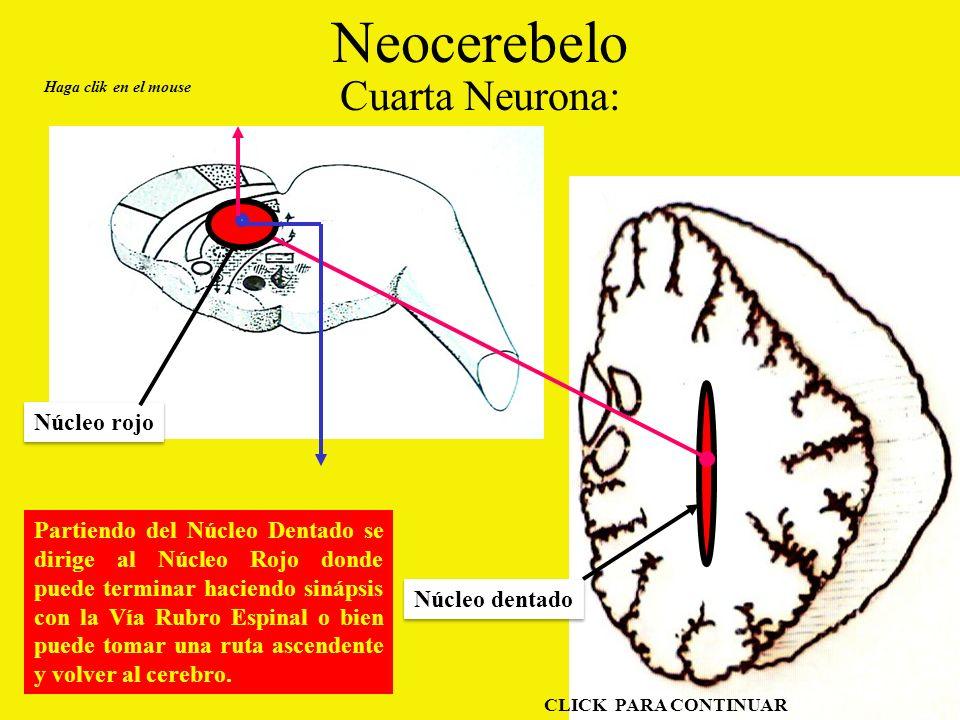 Neocerebelo Cuarta Neurona: Haga clik en el mouse CLICK PARA CONTINUAR Partiendo del Núcleo Dentado se dirige al Núcleo Rojo donde puede terminar haciendo sinápsis con la Vía Rubro Espinal o bien puede tomar una ruta ascendente y volver al cerebro.