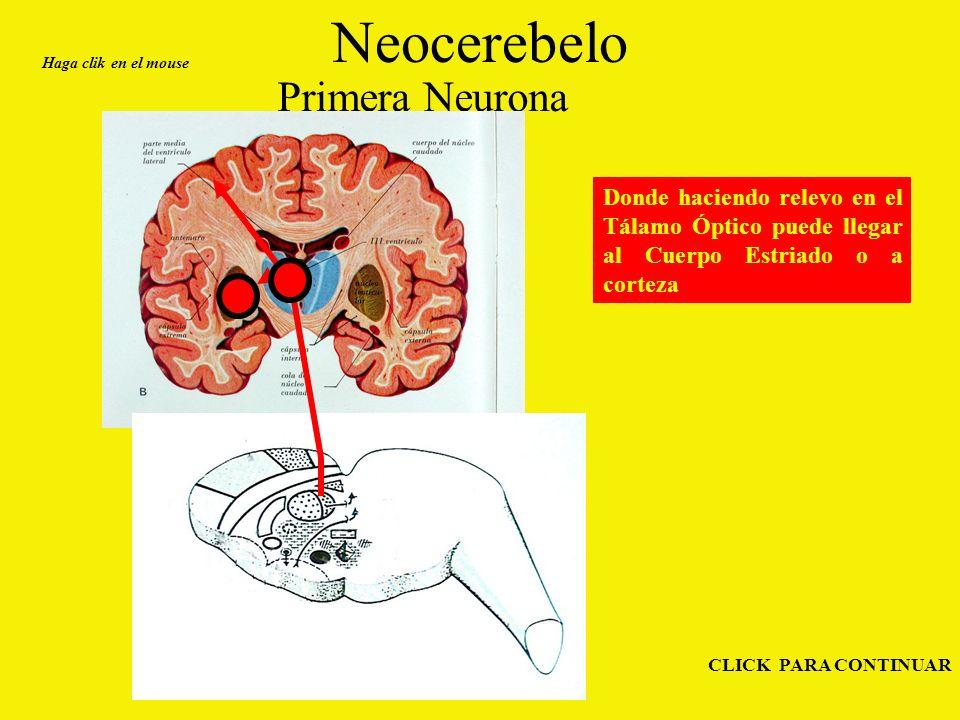 Neocerebelo Primera Neurona Haga clik en el mouse CLICK PARA CONTINUAR Donde haciendo relevo en el Tálamo Óptico puede llegar al Cuerpo Estriado o a corteza