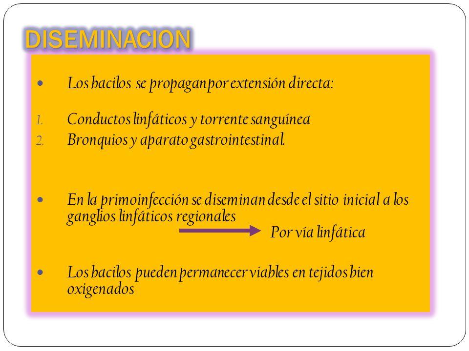 Los bacilos se propagan por extensión directa: 1. Conductos linfáticos y torrente sanguínea 2. Bronquios y aparato gastrointestinal. En la primoinfecc