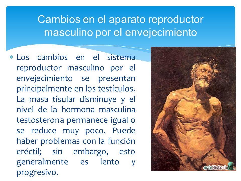 Los cambios en el sistema reproductor masculino por el envejecimiento se presentan principalmente en los testículos. La masa tisular disminuye y el ni