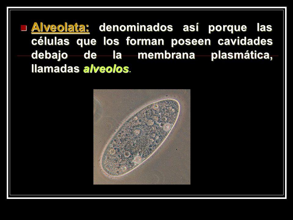 Alveolata: denominados así porque las células que los forman poseen cavidades debajo de la membrana plasmática, llamadas alveolos Alveolata: denominados así porque las células que los forman poseen cavidades debajo de la membrana plasmática, llamadas alveolos.