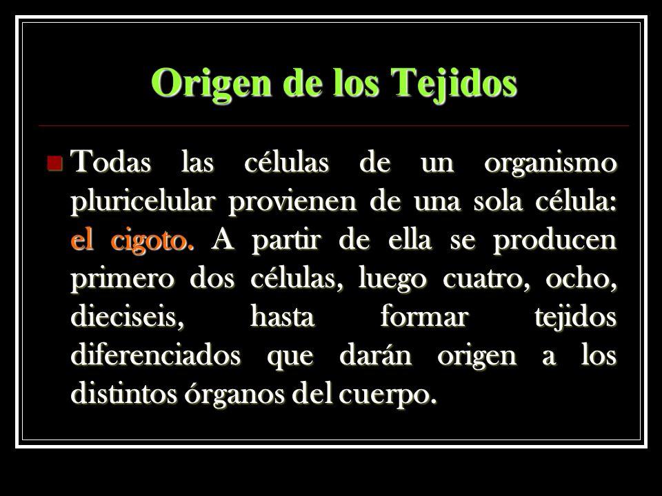 Origen de los Tejidos Todas las células de un organismo pluricelular provienen de una sola célula: el cigoto. A partir de ella se producen primero dos