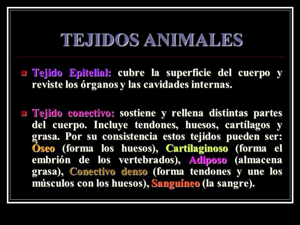 TEJIDOS ANIMALES Tejido Epitelial: cubre la superficie del cuerpo y reviste los órganos y las cavidades internas. Tejido Epitelial: cubre la superfici