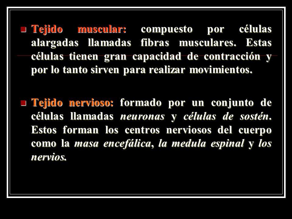 Tejido muscular: compuesto por células alargadas llamadas fibras musculares.