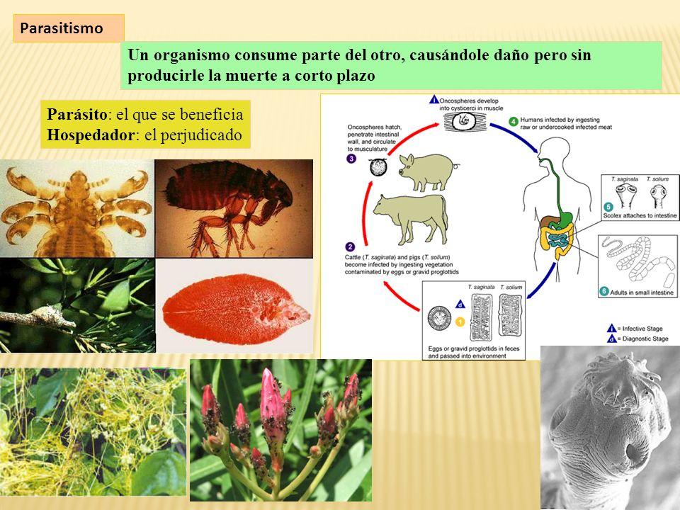 Parasitismo Un organismo consume parte del otro, causándole daño pero sin producirle la muerte a corto plazo Parásito: el que se beneficia Hospedador: el perjudicado