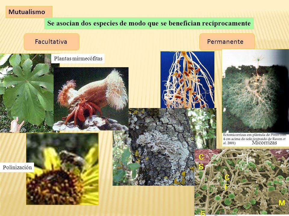 Mutualismo Se asocian dos especies de modo que se benefician recíprocamente FacultativaPermanente Micorrizas Plantas mirmecófitas Polinización 5 CFCFCFCF CSCSCSCS M