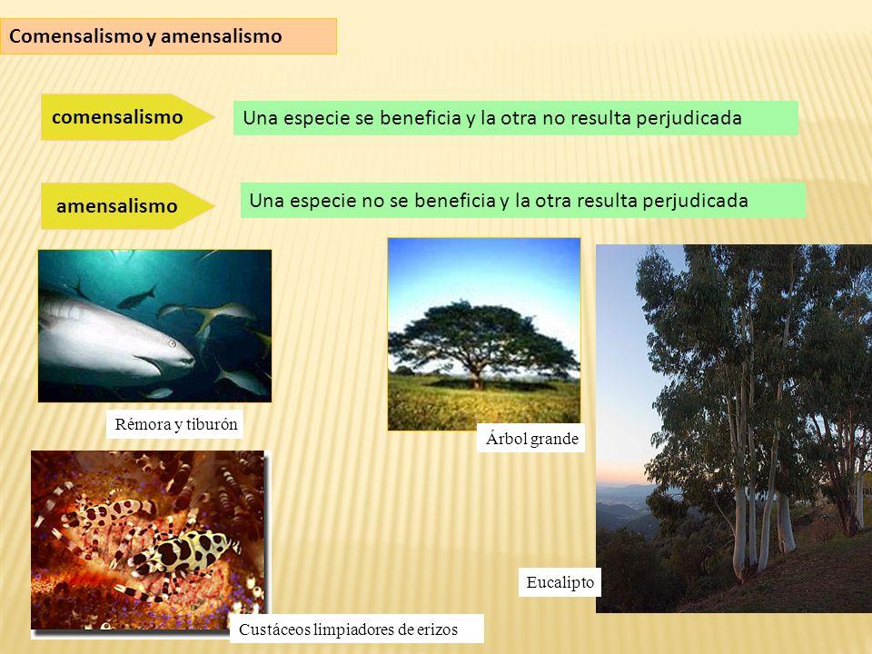Comensalismo y amensalismo comensalismo Una especie se beneficia y la otra no resulta perjudicada amensalismo Una especie no se beneficia y la otra resulta perjudicada Rémora y tiburón Árbol grande Eucalipto Custáceos limpiadores de erizos