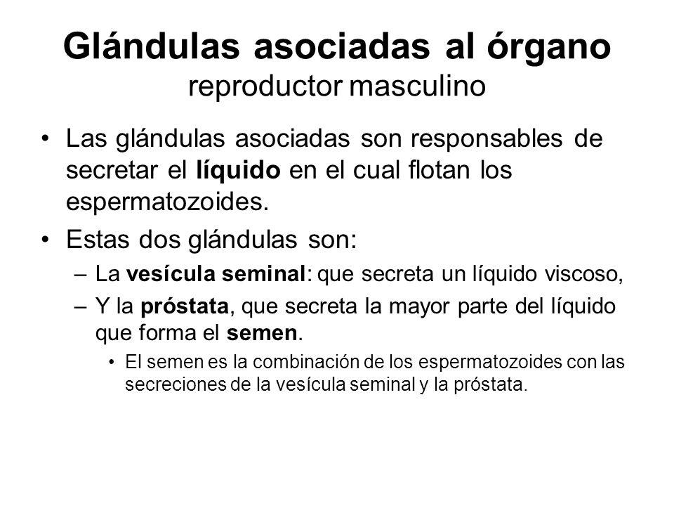 Glándulas asociadas al órgano reproductor masculino Las glándulas asociadas son responsables de secretar el líquido en el cual flotan los espermatozoides.