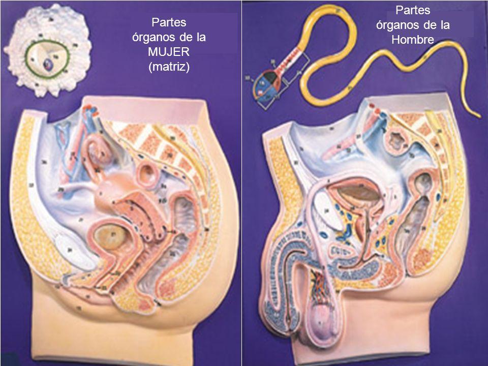 Partes órganos de la MUJER (matriz) Partes órganos de la Hombre
