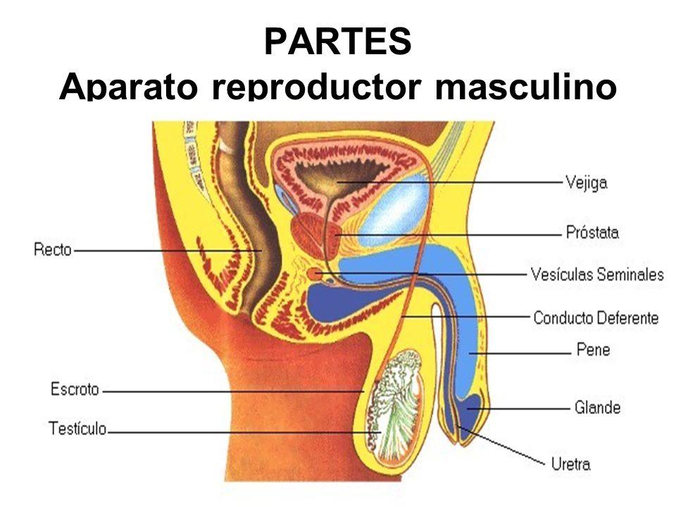 PARTES Aparato reproductor masculino