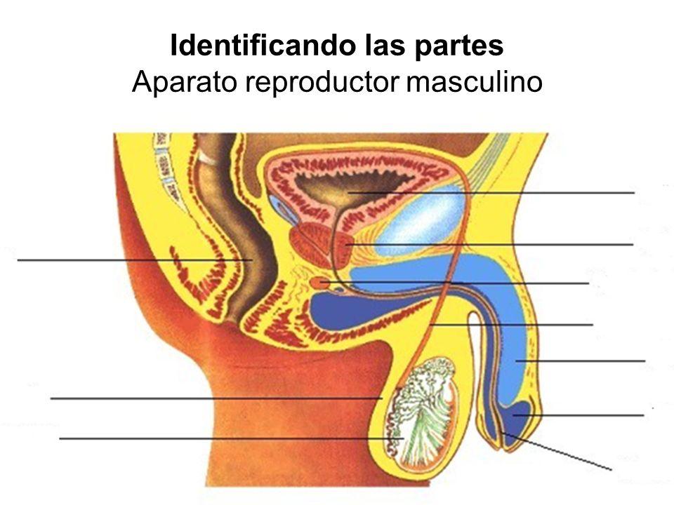 Identificando las partes Aparato reproductor masculino