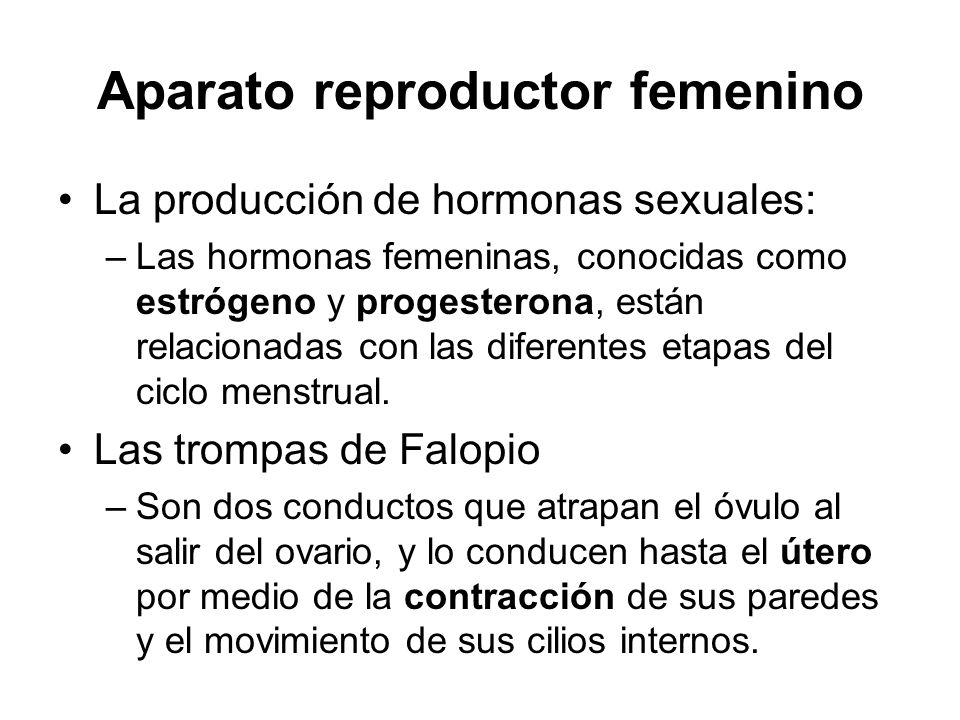 Aparato reproductor femenino La producción de hormonas sexuales: –Las hormonas femeninas, conocidas como estrógeno y progesterona, están relacionadas con las diferentes etapas del ciclo menstrual.