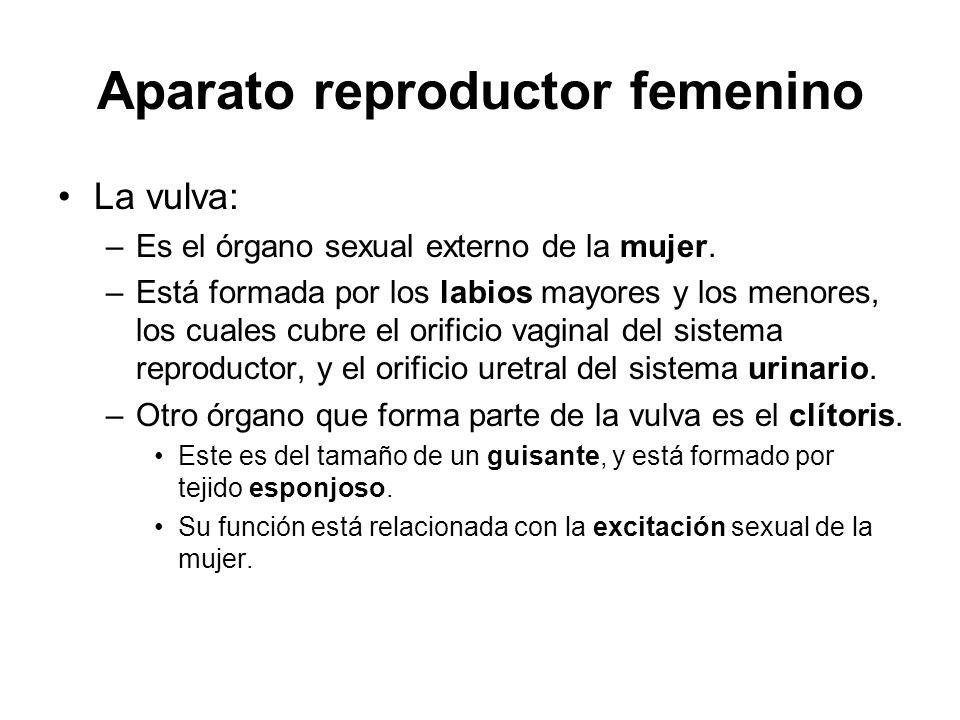 Aparato reproductor femenino La vulva: –Es el órgano sexual externo de la mujer. –Está formada por los labios mayores y los menores, los cuales cubre