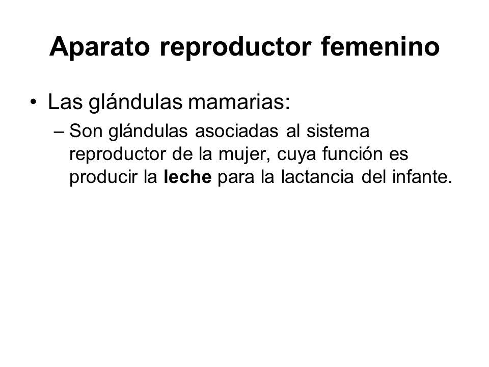 Aparato reproductor femenino Las glándulas mamarias: –Son glándulas asociadas al sistema reproductor de la mujer, cuya función es producir la leche para la lactancia del infante.