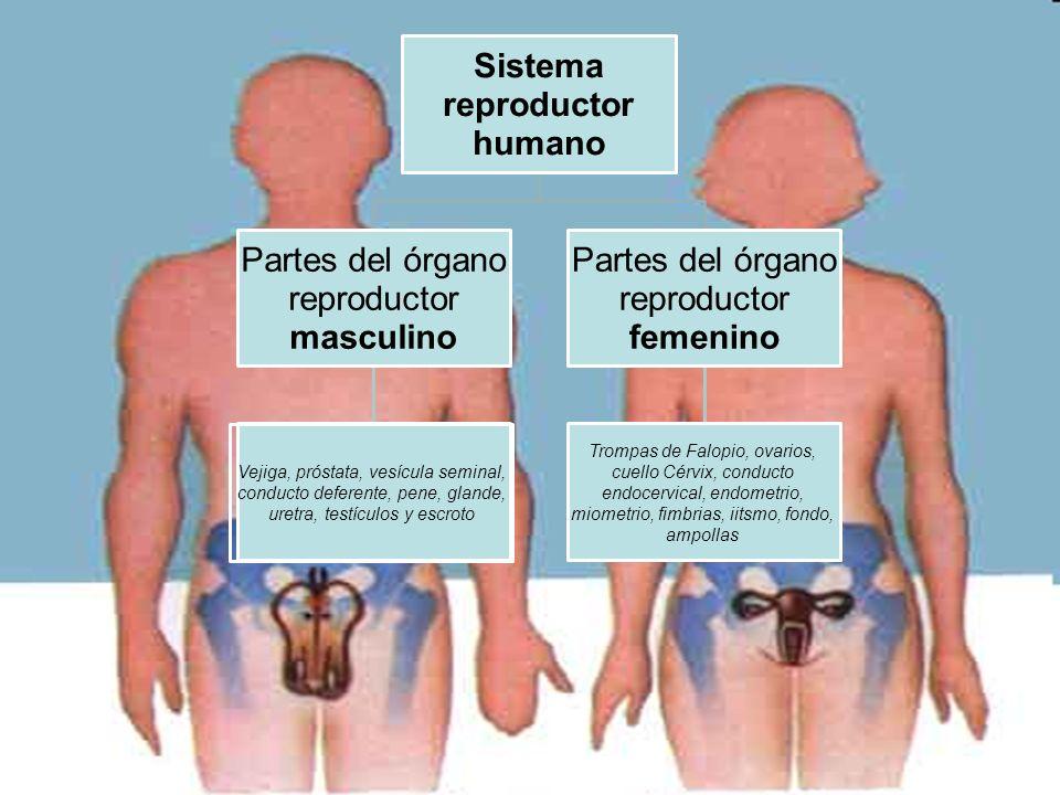 Sistema reproductor humano Partes del órgano reproductor masculino Partes del órgano reproductor femenino Vejiga, próstata, vesícula seminal, conducto