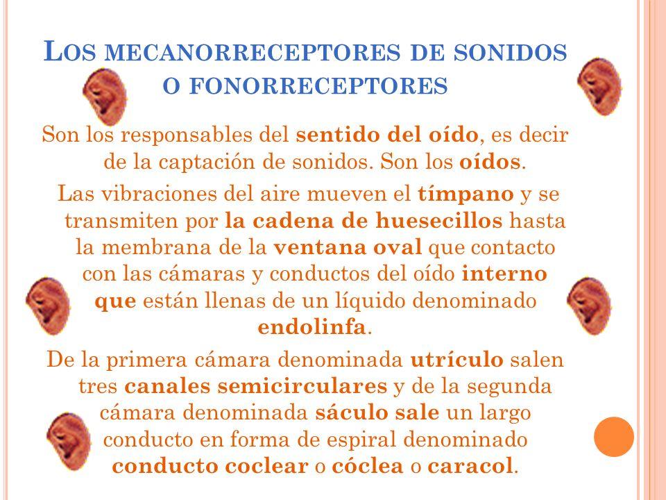 L OS MECANORRECEPTORES DE SONIDOS O FONORRECEPTORES Son los responsables del sentido del oído, es decir de la captación de sonidos. Son los oídos. Las
