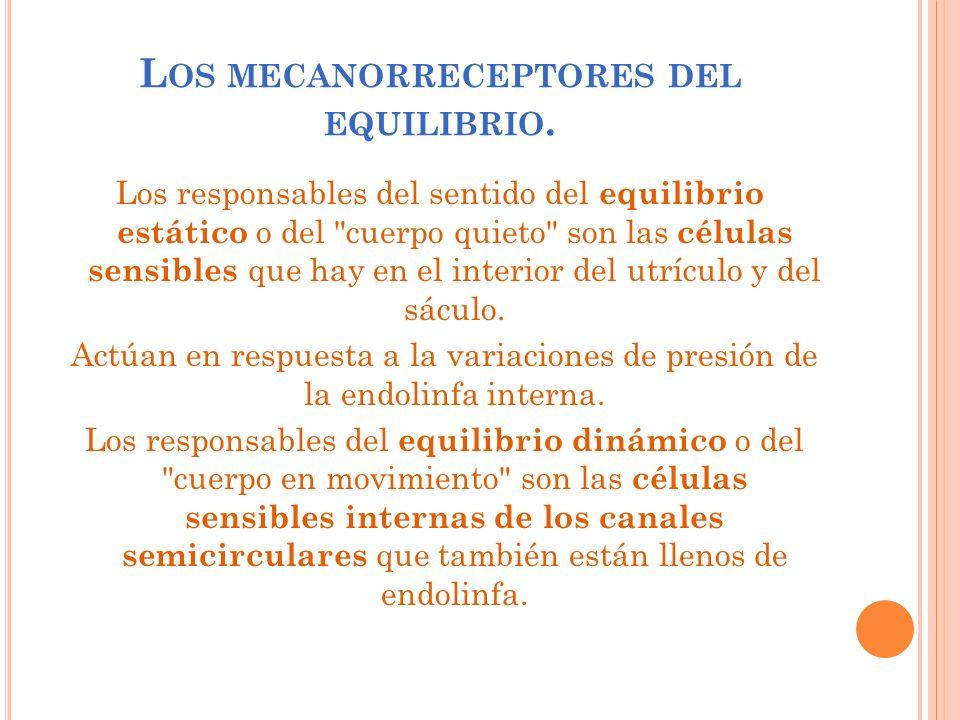 L OS MECANORRECEPTORES DEL EQUILIBRIO. Los responsables del sentido del equilibrio estático o del