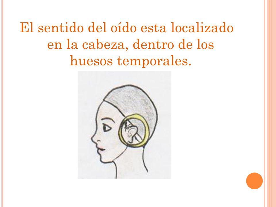 El sentido del oído esta localizado en la cabeza, dentro de los huesos temporales.