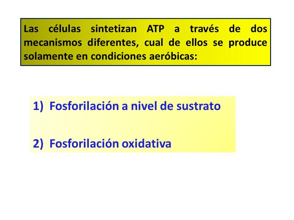 Las células sintetizan ATP a través de dos mecanismos diferentes, cual de ellos se produce solamente en condiciones aeróbicas: 1)Fosforilación a nivel de sustrato 2)Fosforilación oxidativa