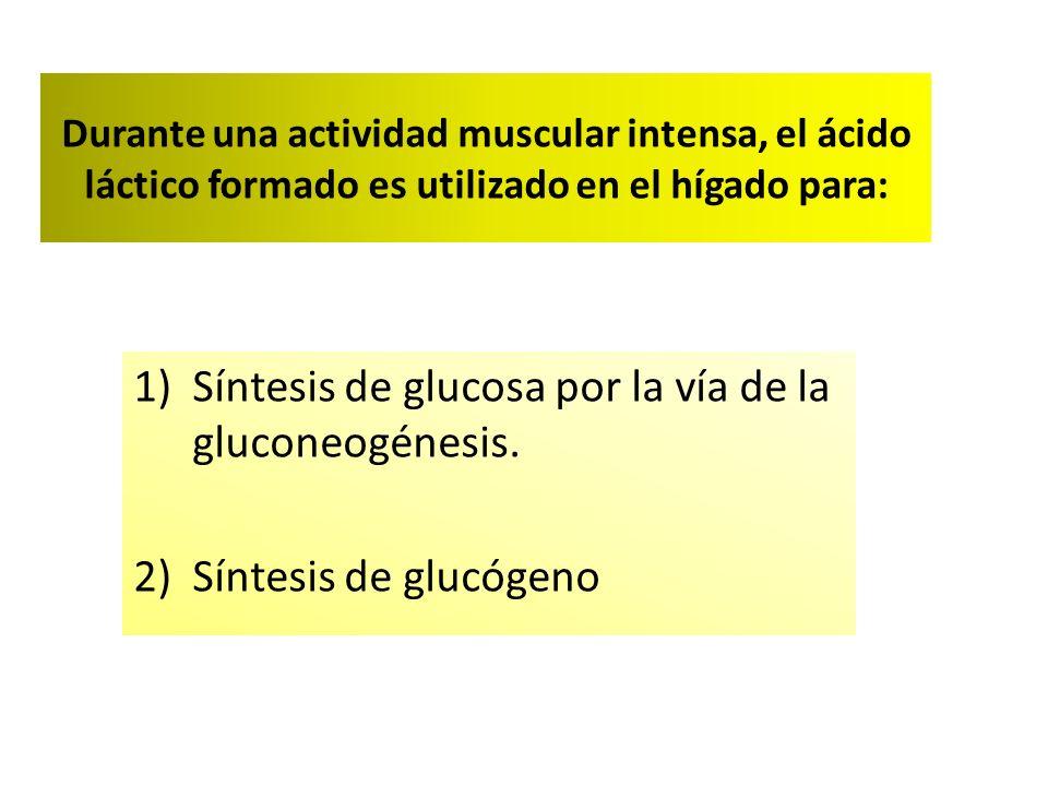 Durante una actividad muscular intensa, el ácido láctico formado es utilizado en el hígado para: 1)Síntesis de glucosa por la vía de la gluconeogénesis.