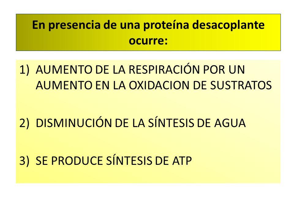 En presencia de una proteína desacoplante ocurre: 1)AUMENTO DE LA RESPIRACIÓN POR UN AUMENTO EN LA OXIDACION DE SUSTRATOS 2)DISMINUCIÓN DE LA SÍNTESIS