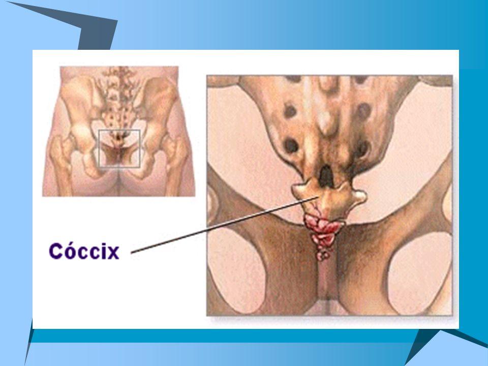 Son las zonas de unión entre los huesos o cartílagos del esqueleto.