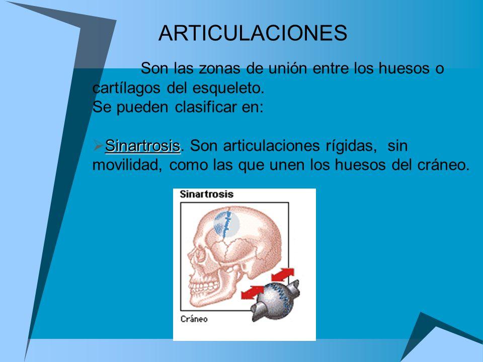 Son las zonas de unión entre los huesos o cartílagos del esqueleto. Se pueden clasificar en: Sinartrosis Sinartrosis. Son articulaciones rígidas, sin