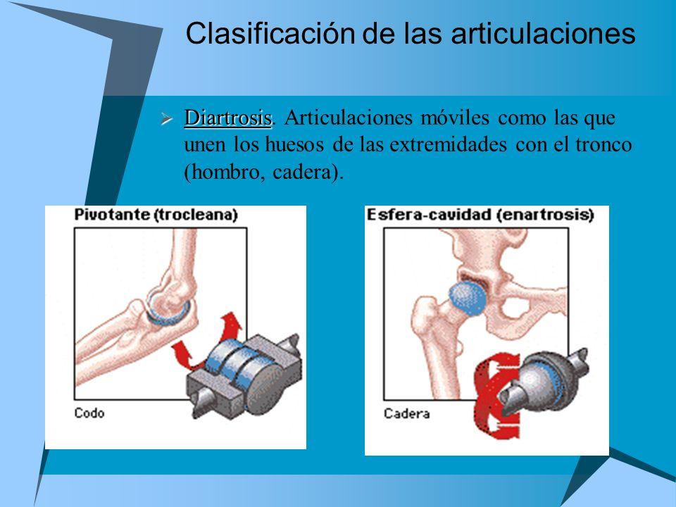 Clasificación de las articulaciones Diartrosis Diartrosis. Articulaciones móviles como las que unen los huesos de las extremidades con el tronco (homb