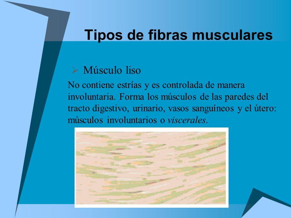 Tipos de fibras musculares Músculo liso No contiene estrías y es controlada de manera involuntaria. Forma los músculos de las paredes del tracto diges