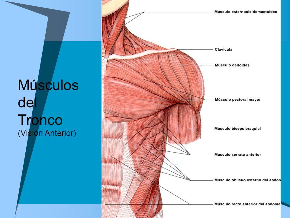 Músculos del Tronco (Visión Anterior)