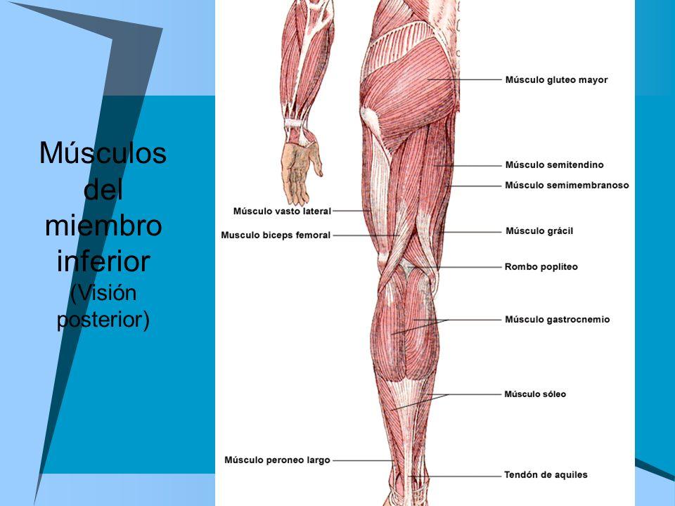Excepcional Inferior Anatomía Muscular Del Miembro Embellecimiento ...
