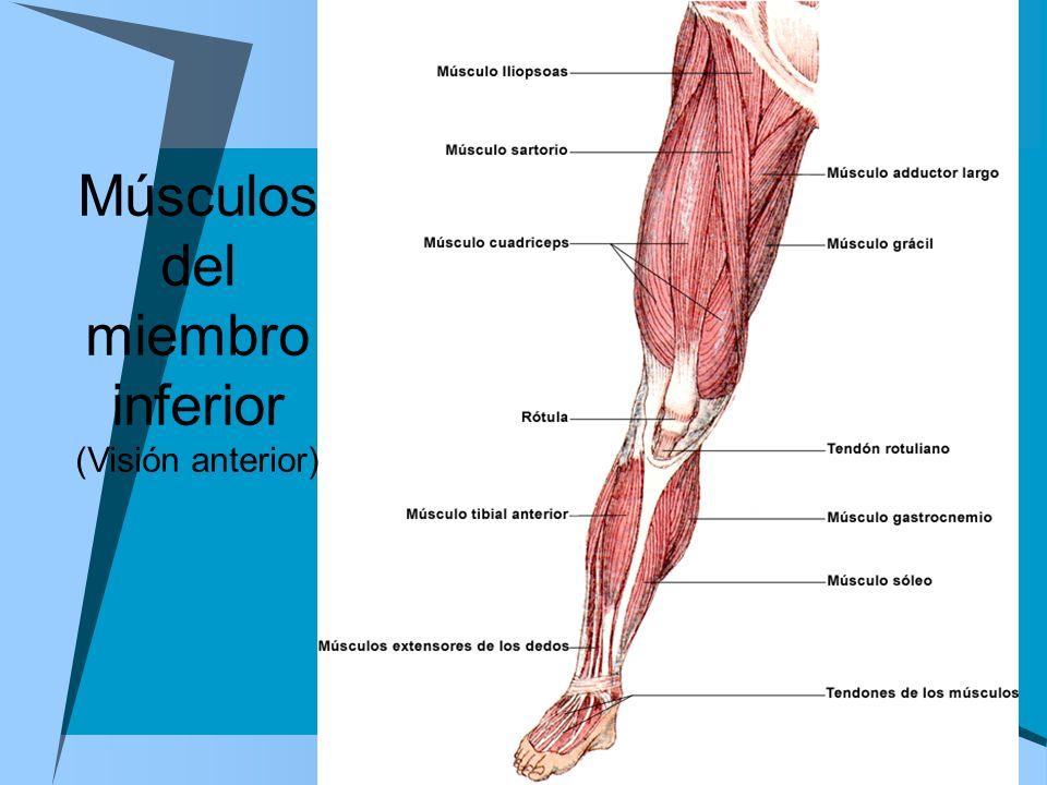 Músculos del miembro inferior (Visión anterior)