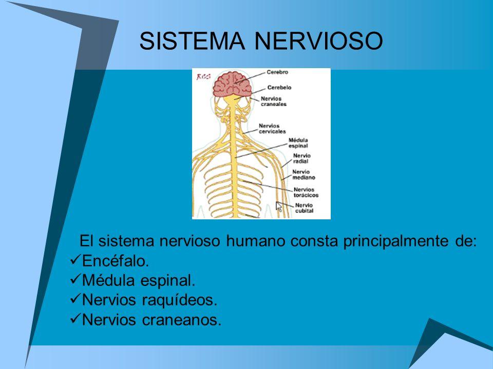 SISTEMA NERVIOSO El sistema nervioso humano consta principalmente de: Encéfalo. Médula espinal. Nervios raquídeos. Nervios craneanos.