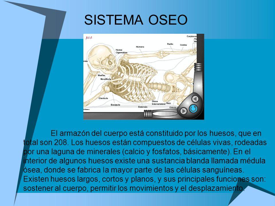 SISTEMA OSEO El armazón del cuerpo está constituido por los huesos, que en total son 208. Los huesos están compuestos de células vivas, rodeadas por u