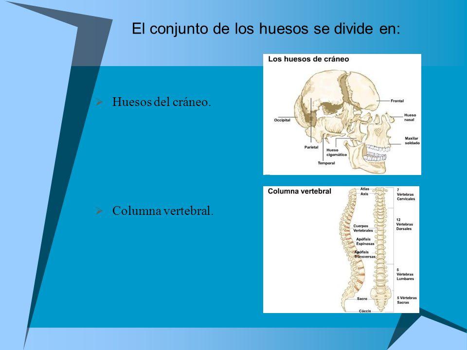 El conjunto de los huesos se divide en: Huesos del cráneo. Columna vertebral.
