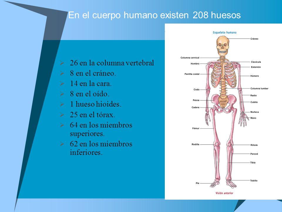 En el cuerpo humano existen 208 huesos 26 en la columna vertebral 8 en el cráneo. 14 en la cara. 8 en el oído. 1 hueso hioides. 25 en el tórax. 64 en