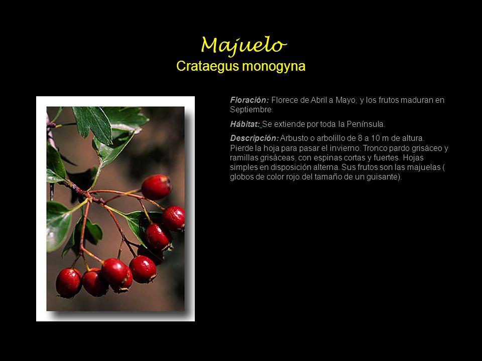 Majuelo Crataegus monogyna Floración: Florece de Abril a Mayo, y los frutos maduran en Septiembre. Hábitat: Se extiende por toda la Península. Descrip