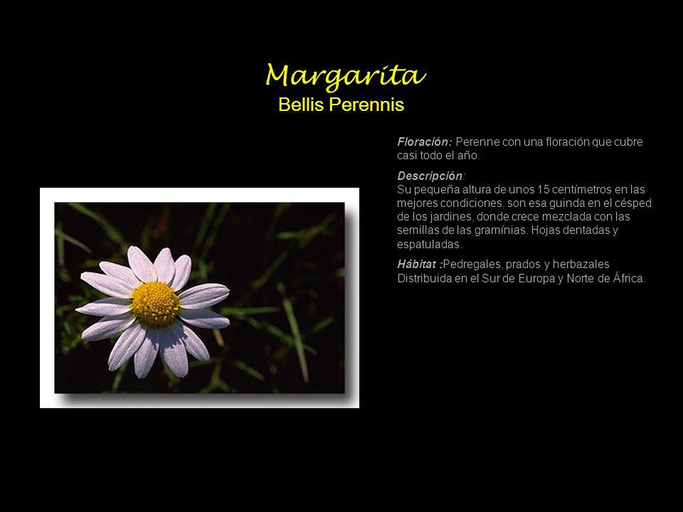 Margarita Bellis Perennis Floración: Perenne con una floración que cubre casi todo el año. Descripción: Su pequeña altura de unos 15 centímetros en la