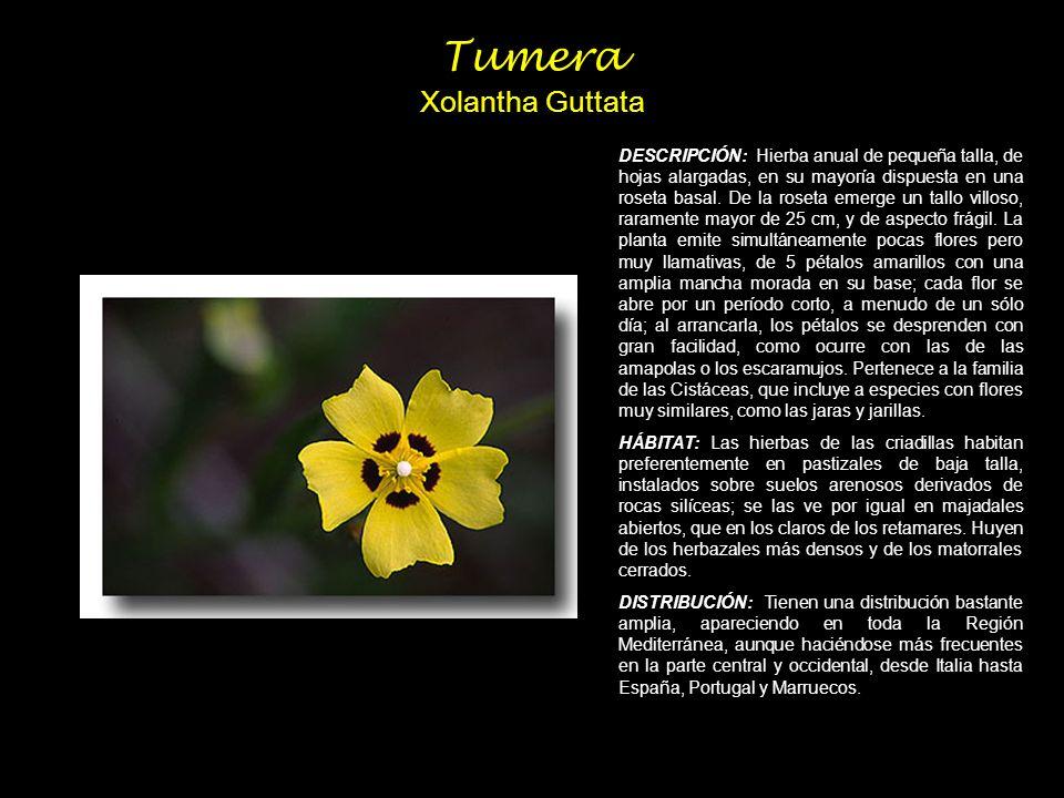 Tumera Xolantha Guttata DESCRIPCIÓN: Hierba anual de pequeña talla, de hojas alargadas, en su mayoría dispuesta en una roseta basal. De la roseta emer
