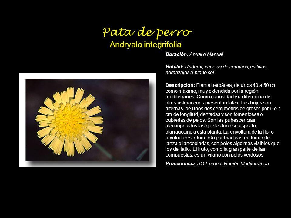 Pata de perro Andryala integrifolia Duración: Anual o bianual. Habitat: Ruderal, cunetas de caminos, cultivos, herbazales a pleno sol. Descripción: Pl