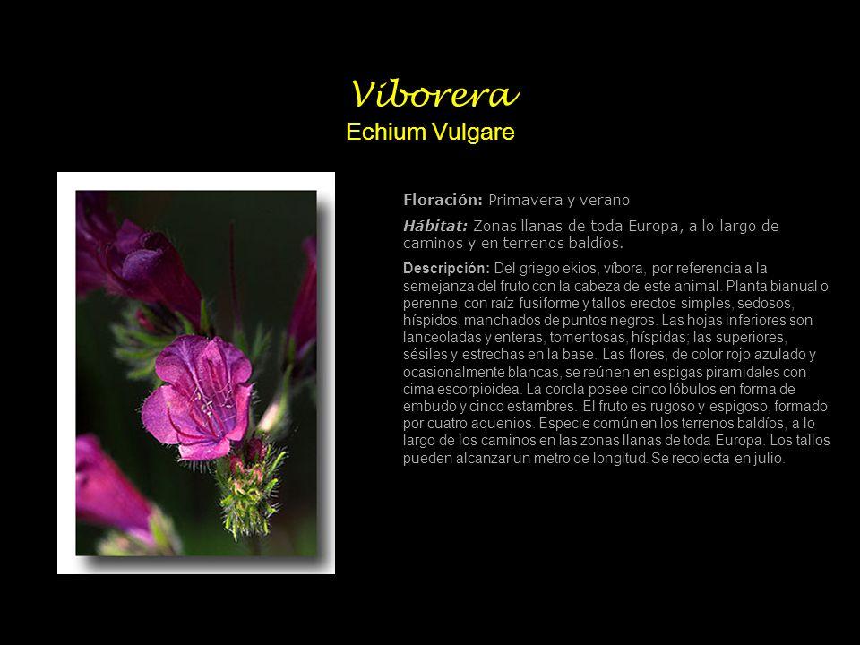 Viborera Echium Vulgare Floración: Primavera y verano Hábitat: Zonas llanas de toda Europa, a lo largo de caminos y en terrenos baldíos. Descripción: