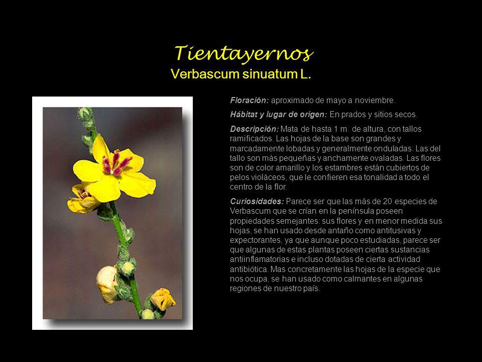 Tientayernos Verbascum sinuatum L. Floración: aproximado de mayo a noviembre. Hábitat y lugar de origen: En prados y sitios secos. Descripción: Mata d