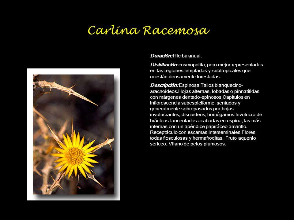 Carlina Racemosa Duración: Hierba anual. Distribución: cosmopolita, pero mejor representadas en las regiones templadas y subtropicales que noestán den