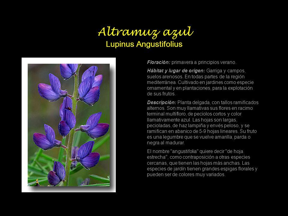 Altramuz azul Lupinus Angustifolius Floración: primavera a principios verano. Hábitat y lugar de origen: Garriga y campos, suelos arenosos. En todas p