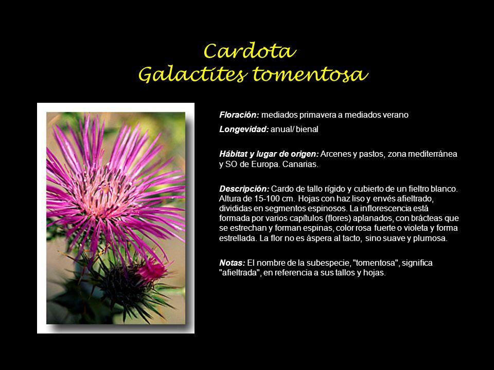 Cardota Galactites tomentosa Floración: mediados primavera a mediados verano Longevidad: anual/ bienal Hábitat y lugar de origen: Arcenes y pastos, zo