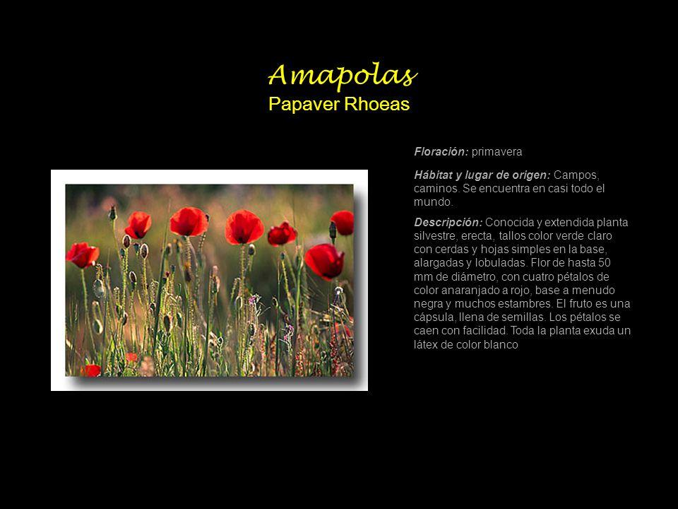 Amapolas Papaver Rhoeas Floración: primavera Hábitat y lugar de origen: Campos, caminos. Se encuentra en casi todo el mundo. Descripción: Conocida y e