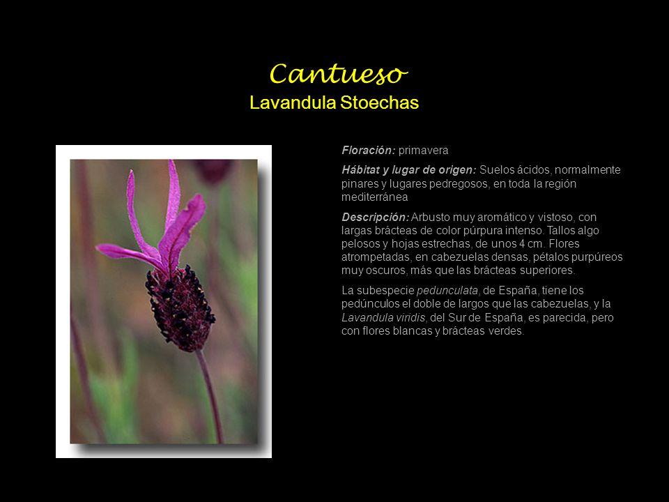 Colleja colorada Silene Colorata Poiret Período de Floración (aproximado): Enero-Junio Hábitat y lugar de origen: Terrenos cultivados, arcenes, suelos secos o calcáreos.